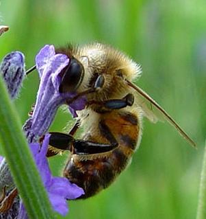 http://annexe.labo.pagesperso-orange.fr/NaturaPaulinemenard/images/abeille.jpg